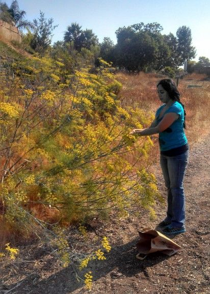 Foraging for Fennel