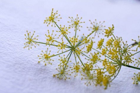 Fennel by Indiaphile.info