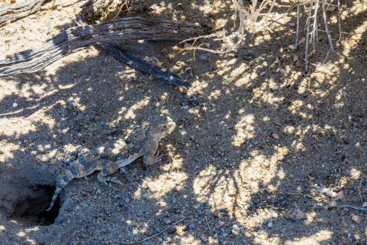 Lizard at Death Valley