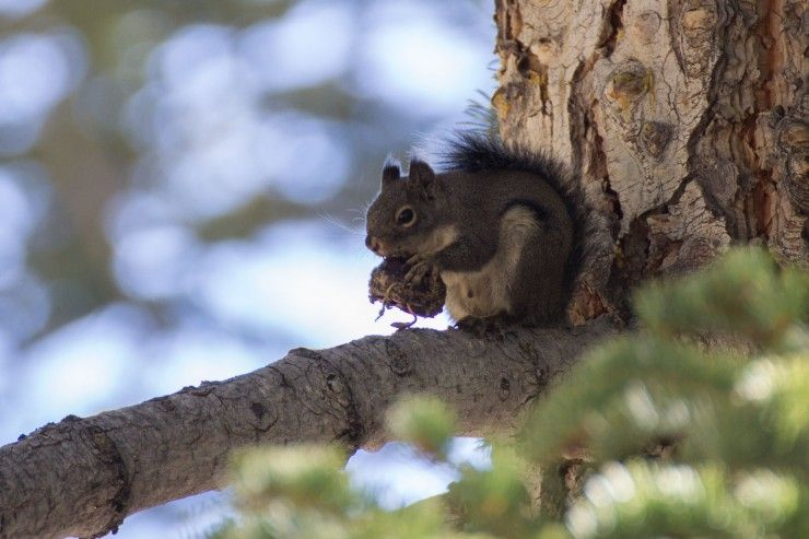 Squirrel at Whitney Portal