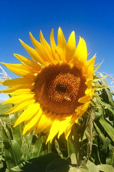 Sunflowers are used for attracting good insects