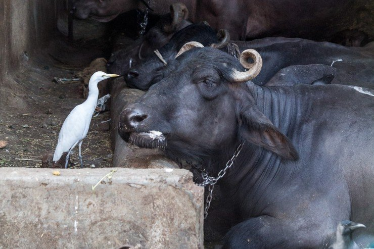 A water buffalo and his pet egret