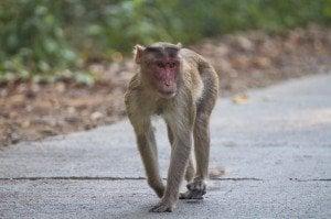 A monkey in Sanjay Gandhi National Park, Mumbai