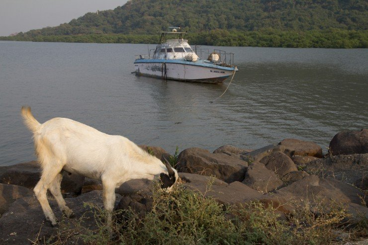 A goat near Elephanta Caves