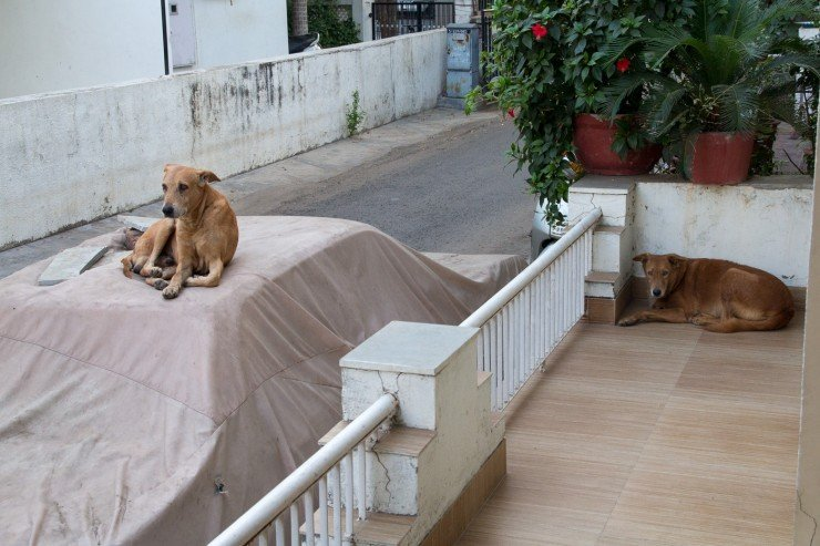 Street dogs in Ahmedabad, India