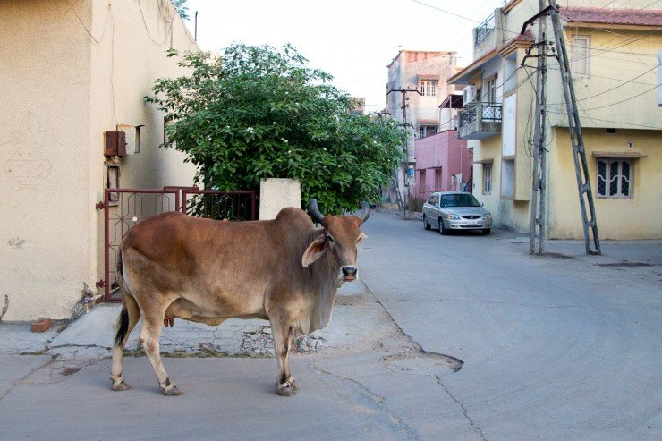 A Street Cow in Baroda, India